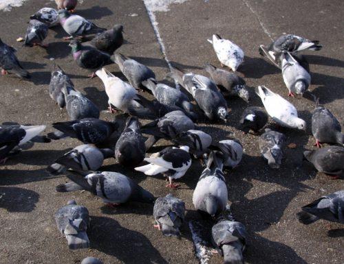 Lecce, nove piccioni su dieci soffrono di diarrea