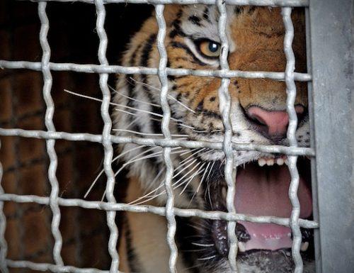 Tigri nella Villa Comunale: l'idea degli antianimalisti leccesi