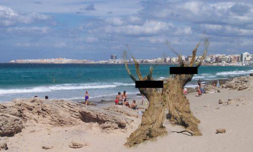 Droga: arrestati sulla spiaggia di Gallipoli due giovani ulivi secolari strafatti di Xylella