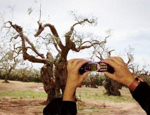 La Xylella era in Salento già vent'anni fa e si faceva i selfie tra gli ulivi: ecco le prove