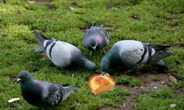 Secondo la LIPU Lecce è la città dove i piccioni vivono meglio