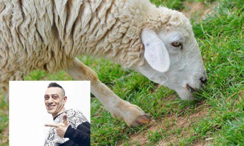 """Sono anni che ci ruba l'erba!"". Una pecora di Casalabate querela Nandu Popu"